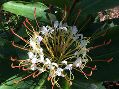 Hedychium ellipticum (Rock Butterfly Lily, Hardy Ginger)