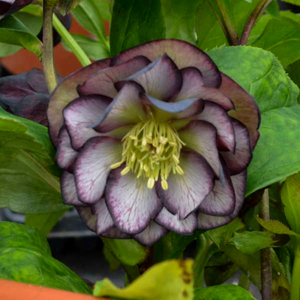 Helleborus 'Black Tie Affair'  (Lenten Rose)