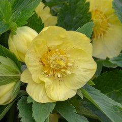 Helleborus 'California Dreaming'  (Lenten Rose)