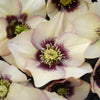 Helleborus 'Sandy Shores' (Lenten Rose)