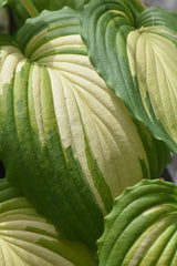 Hosta 'Angel Falls' (Plantain Lily)