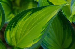 Hosta 'June Spirit' (Plantain Lily)