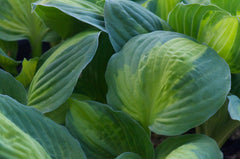 Hosta 'Captain Kirk' (Plantain Lily)