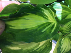 Hosta 'Lakeside Paisley Print' (Plantain Lily)