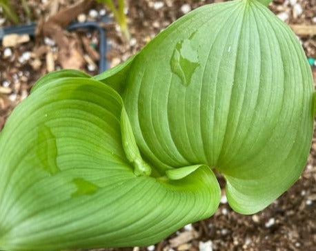 Maianthemum dilatatum  (False Lily of the Valley)