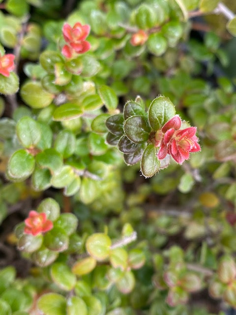 Vaccinium chaetothrix SEH1517  (Himalayan Huckleberry)