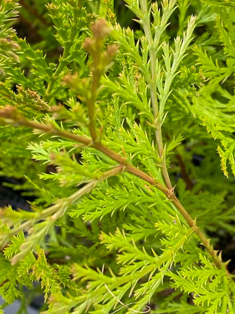 Calocedrus decurrens  (Incense Cedar)