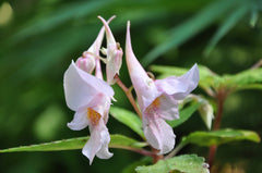 Impatiens sp. (Hardy Impatiens)