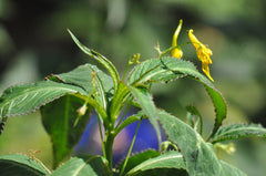 Impatiens sp. (Tall Yellow Hardy Impatiens)
