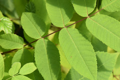 Juglans cinerea (Butter Nut)