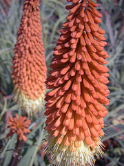 Kniphofia caulescens   (Red Hot Poker)