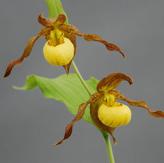 Cypripedium 'Kristi Lyn'  (Hardy Lady Slipper Orchid)