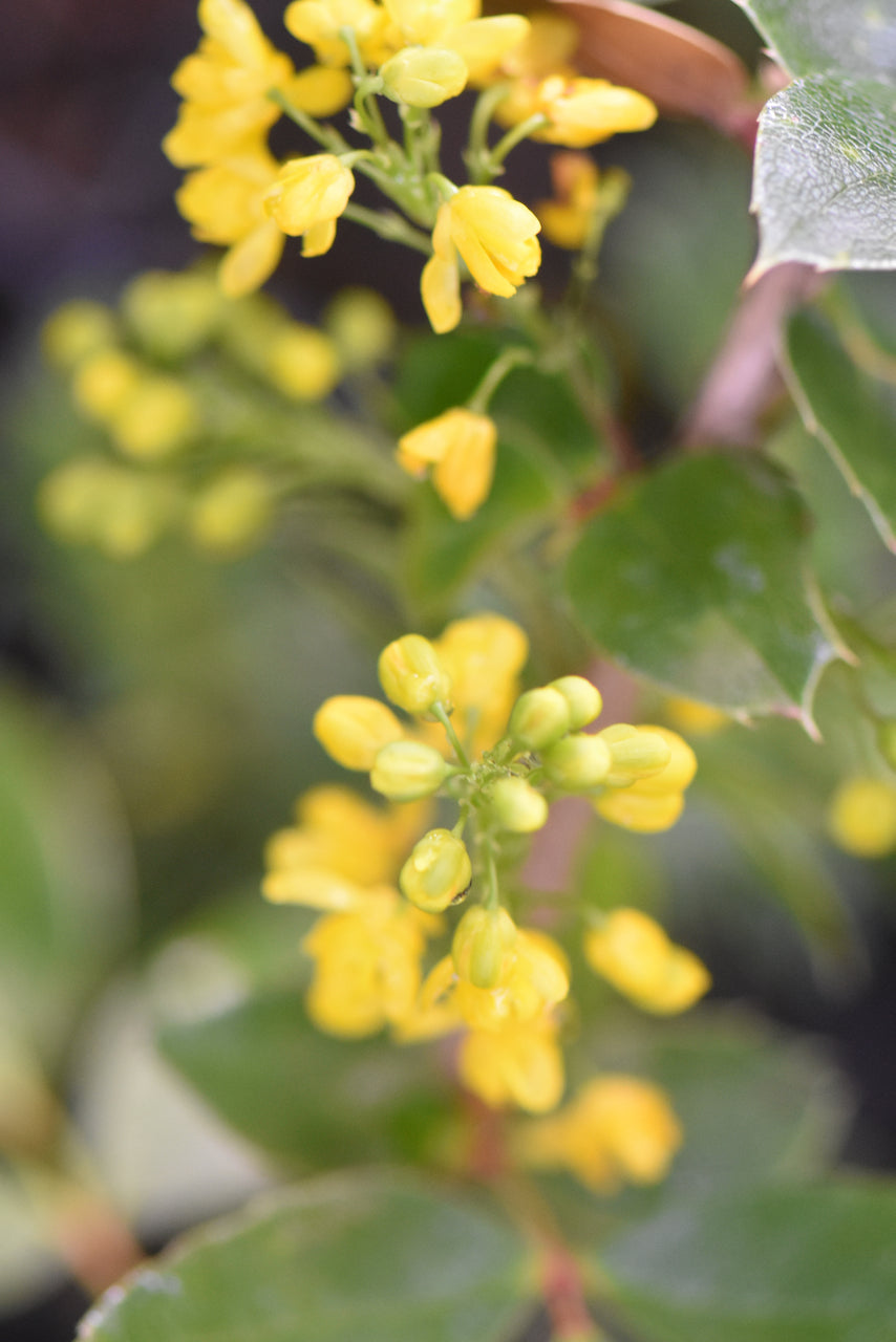 Mahonia pinnata ssp. insularis 'Shnilemoon' (Channel Island Oregon Grape)
