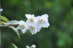 Philadelphus delavayi (Chinese Mock Orange)