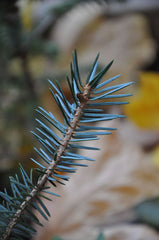 Picea likiangensis (Lijiang Spruce)