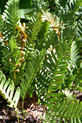 Polypodium guttatum (Mexican Licorice Fern)