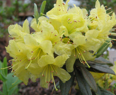 Rhododendron 'Goldilocks' (Hybrid Lepidote Rhododendron)