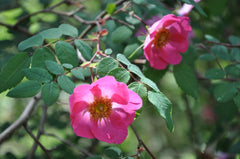 Rosa moyesii var. fargesii (Chinese Species Rose)