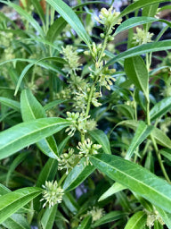 Sarcococca saligna (Willow-Leaf Sweet Box, Christmas Box)