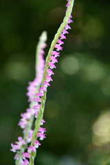 Spiranthes sinensis ( Pink Ladies Tresses)