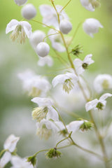 Thalictrum delavayi 'Album'  (Chinese Meadow Rue)