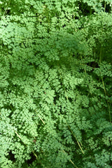 Thalictrum isopyroides (Foamy Meadow Rue)