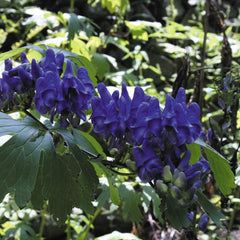 Aconitum japonicum (Japanese Monkshood)