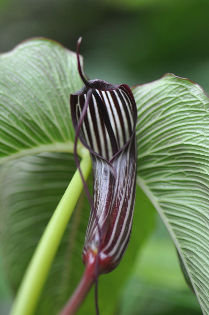 Arisaema costatum (Jack-in-the-Pulpit)