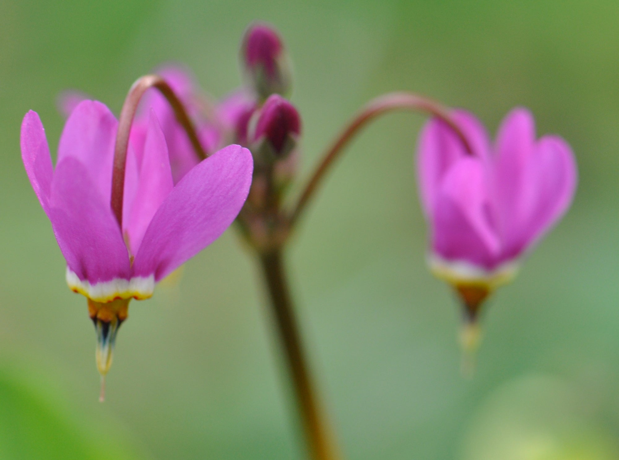 Dodecatheon meadia  (Shootingstar)