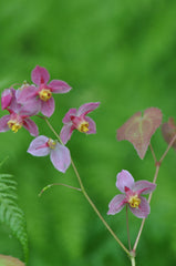 Epimedium x versicolor 'Cherry Tart' (Fairy Wings)