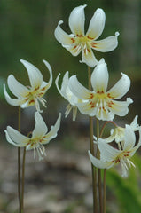 Erythronium revolutum 'White Beauty' (Dog Tooth Violet)