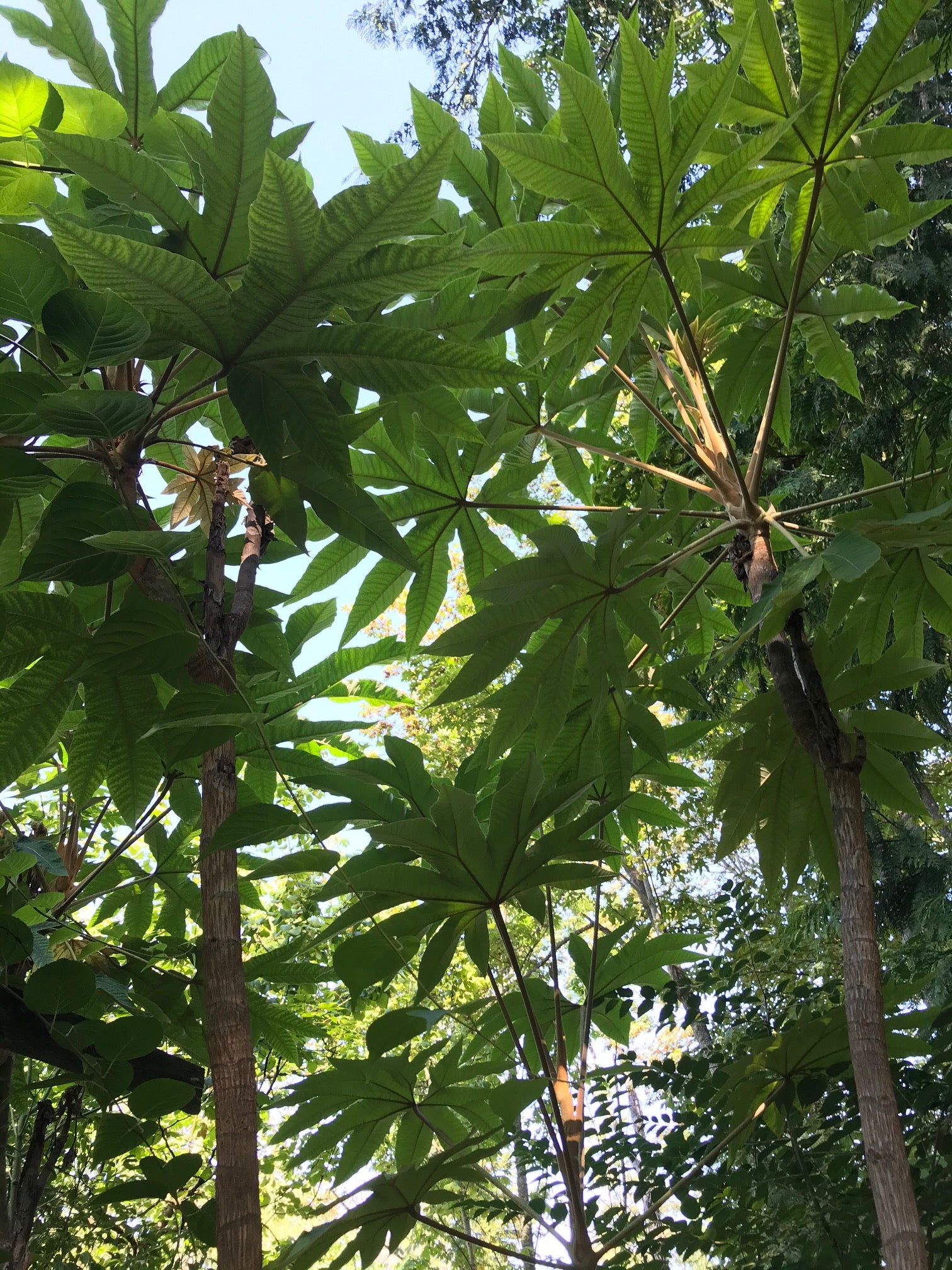Tetrapanax papyrifer 'Steroidal Giant' (Steroidal Giant Rice Paper Plant)