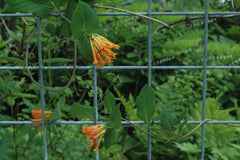 Lonicera ciliosa (Orange Honeysuckle)