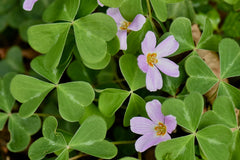 Oxalis oregana 'Redwood Gem' (Pink Redwood Sorrel)