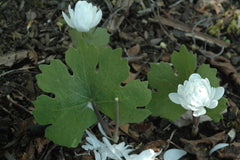Sanguinaria canadensis 'Multiplex' (Double Flowered Bloodroot)