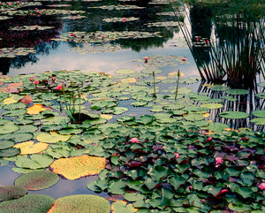 Untitled Water Lily (Veneto VII)