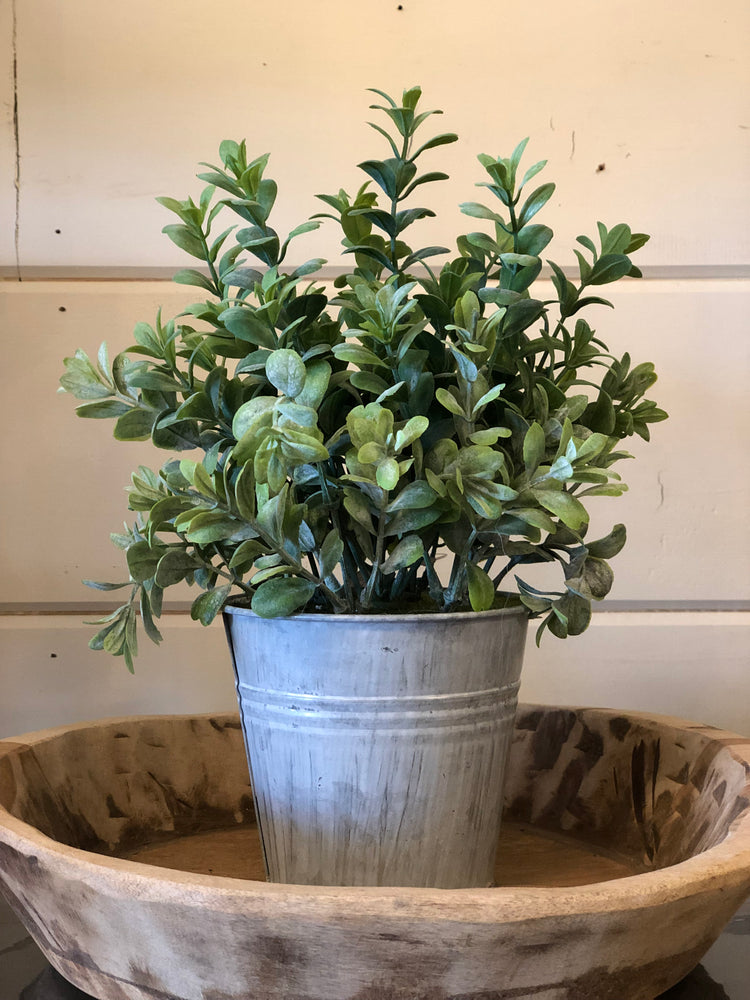 Potted Pebble Eucalyptus Plant