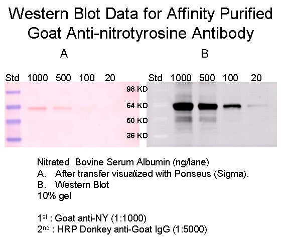 [A18] Goat Anti-Nitrotyrosine Polyclonal Antibody, Academy Bio-medical Company, Inc.
