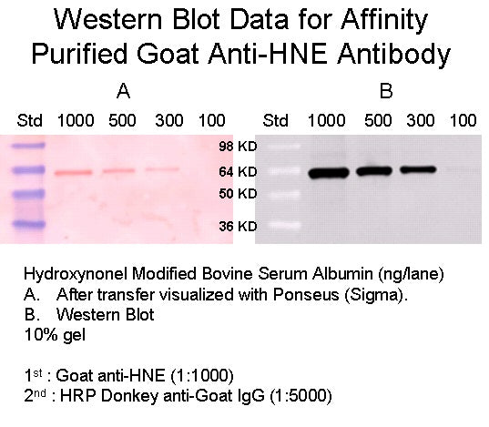 [A22] Goat Anti-4 HNE (4 Hydroxynonenal) Polyclonal Antibody, Academy Bio-medical Company, Inc.