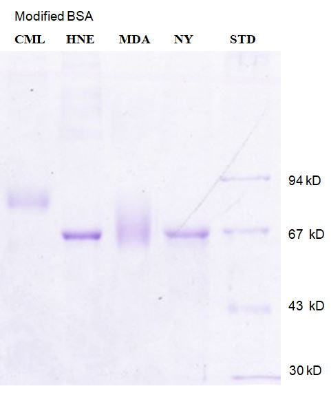 [P24] Malondialdehyde modified Bovine Serum Albumin (MDA - BSA), 50% glycerol, Academy Bio-medical Company, Inc.