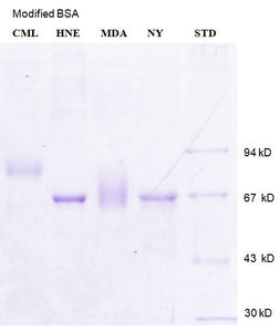 [P26] Carboxymethyl-lysine modified Bovine Serum Albumin (CML-BSA), Academy Bio-medical Company, Inc.