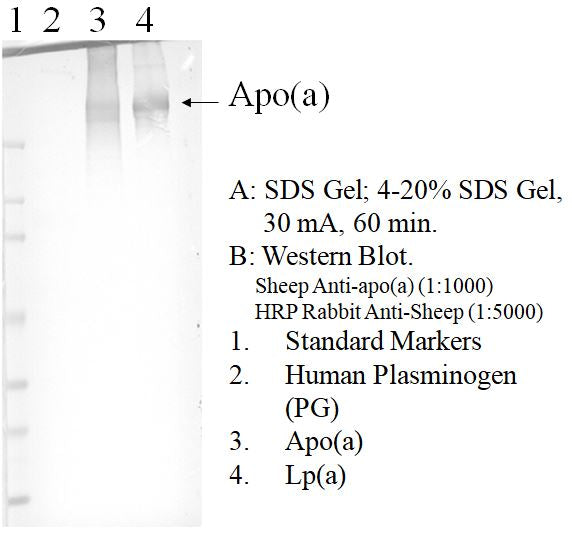 [A02] Sheep Anti-Human Apolipoprotein (a) Polyclonal Antibody, Academy Bio-medical Company, Inc.