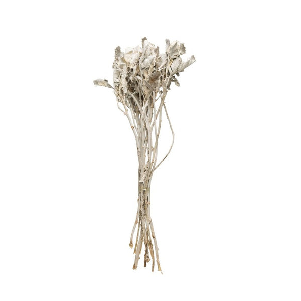Dried Dusty Miller Bunch