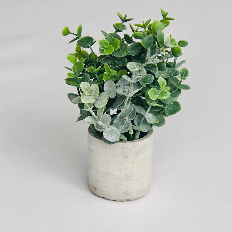 Mini Boxwood Sage in Concrete Pot