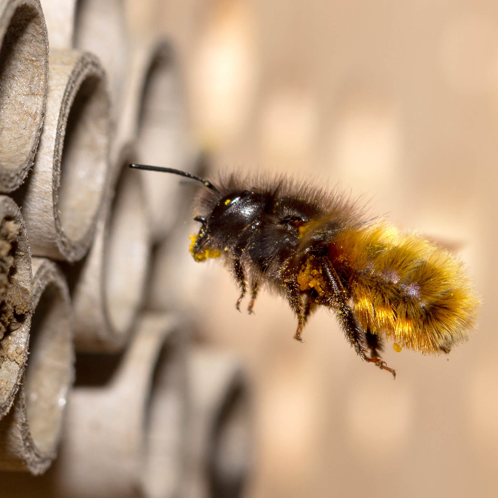 Mason bee about to enter a home