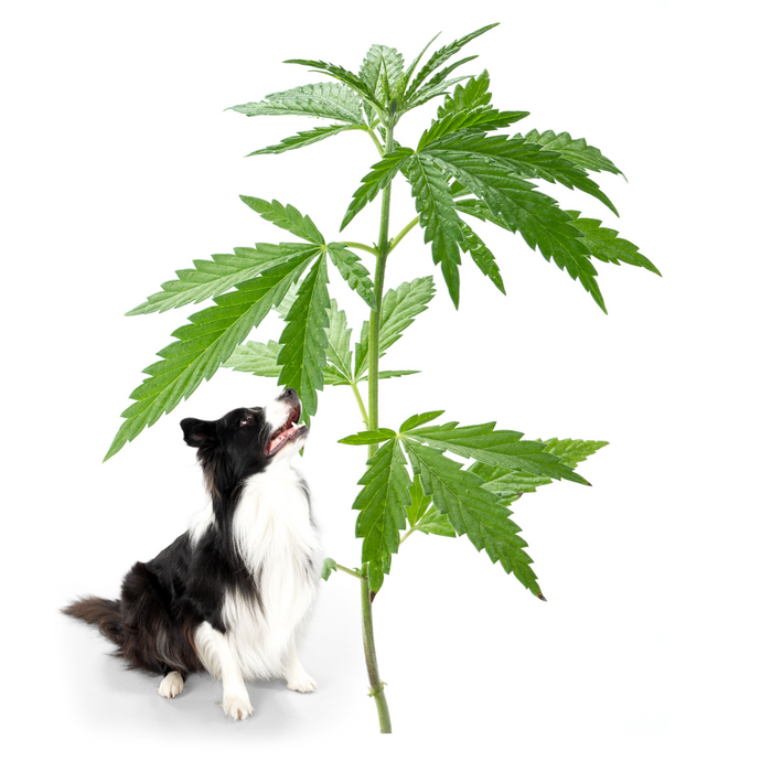 Living The High Life: Hemp and Its Benefits for Dogs