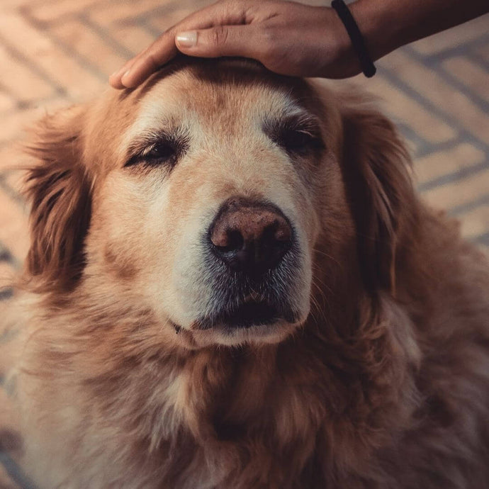 CCD - 5 Ways To Treat Dementia In Dogs
