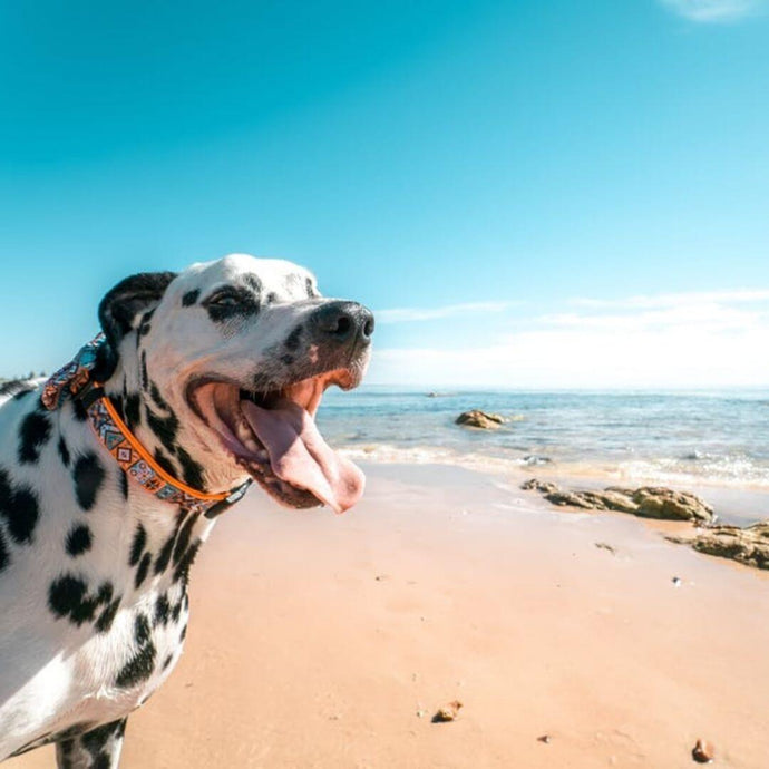 Dog Breeds in Australia: What Are The Biggest Health Concerns?