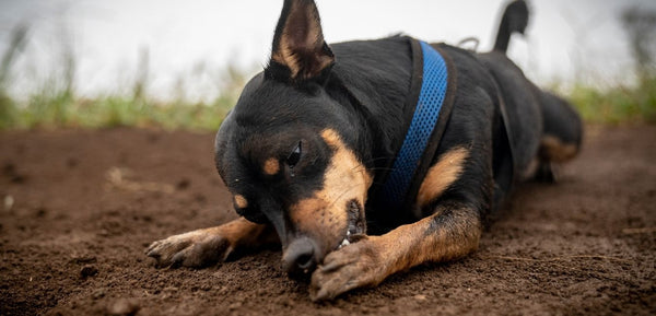 working dog breed licking paws