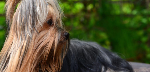 long haired Yorkshire terrier dog